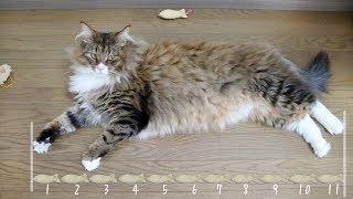 大型・長毛種のノルウェージャンフォレストキャットの大きさが、なんと...