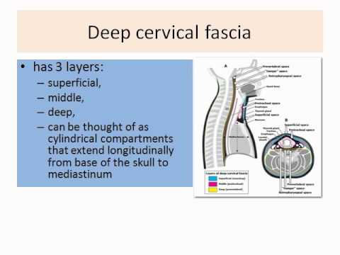 ENT - Deep neck space infections part 01 16-12-2011 Self-learning ...