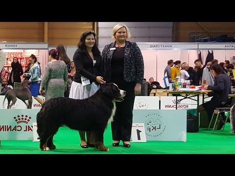 BERNESE MOUNTAIN DOG. Part 2 of 4. ZooExpo 2016 FCI CACIB Dog Show