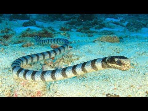 5 Самых Ядовитых Морских Змей в Мире 2 часть