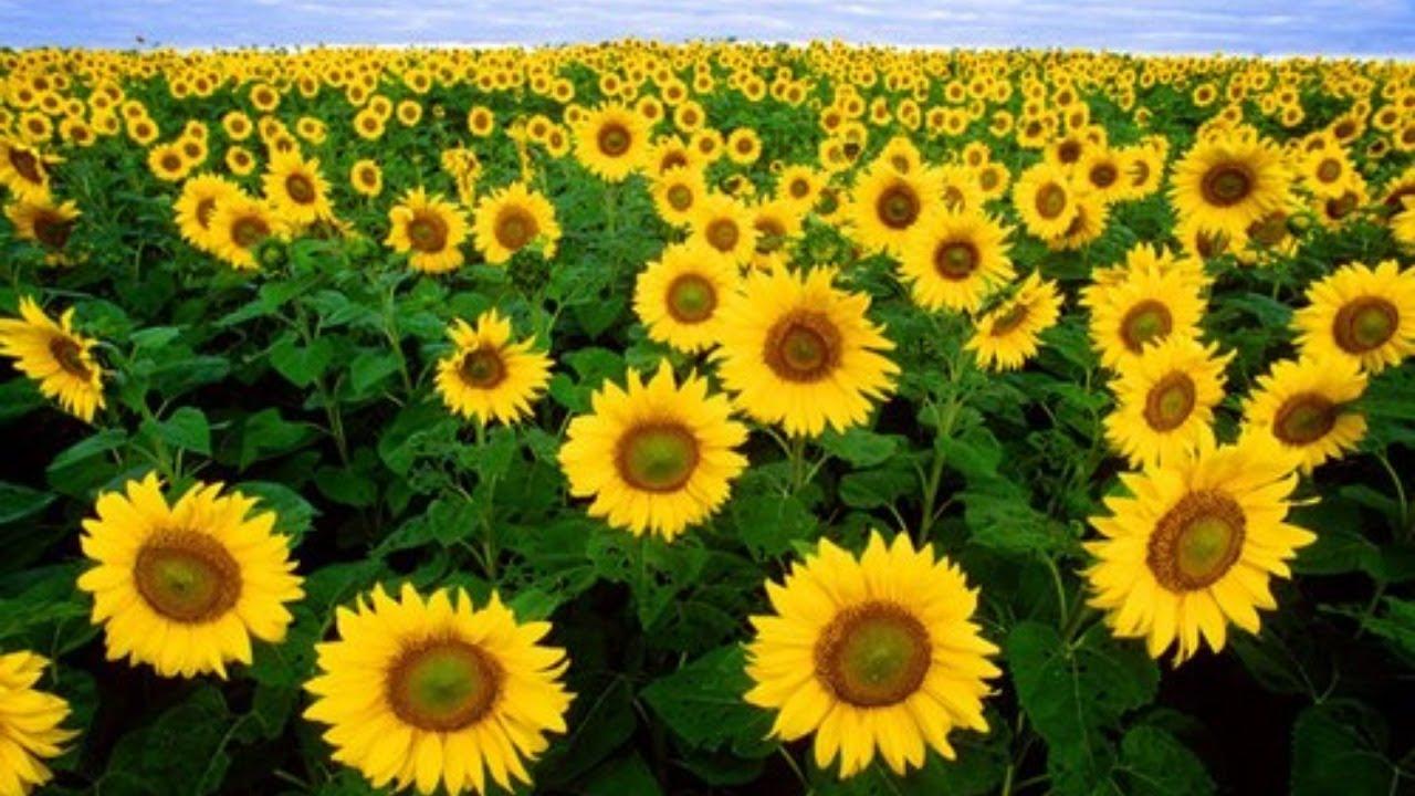 Cùng vẽ hoa HƯỚNG DƯƠNG giúp đở các bạn nhi ung thư
