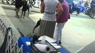 San Antonio Dog Show  7-16-11- Bexar Co. Kennel Club - Doberman Pinscher Best Of Breed Class.wmv
