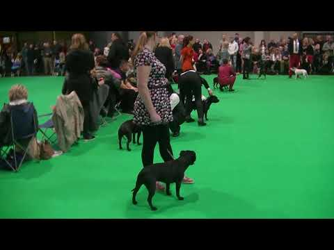 Staffordshire Bull Terrier Crufts 2019