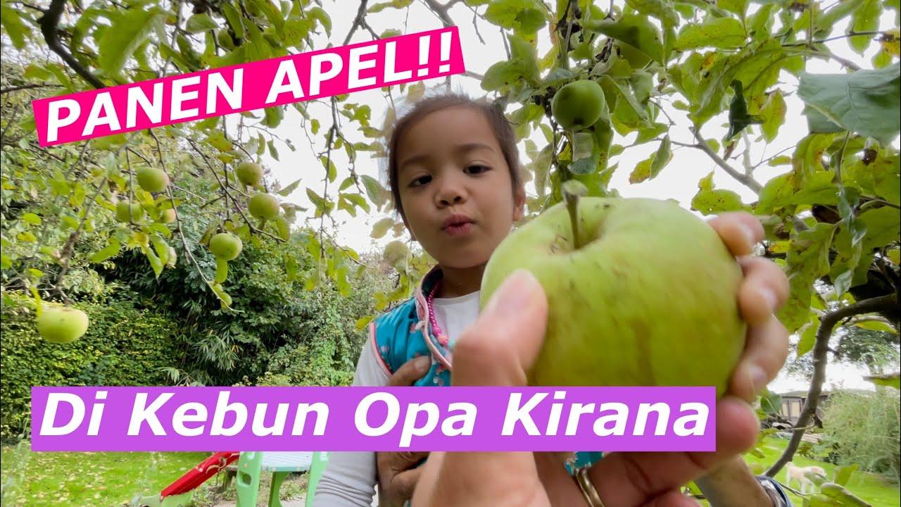 Download SERUNYA!! PANEN APEL DI KEBUN OPA // Kehebohan Para Cucu Bantu Opa Petik Apel