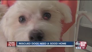Florida Poodle Rescue Looking For Home For Two Loving Dogs; One Suffered A Traumatic Injury
