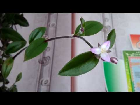 Цветок Драцена уход и пересадка Драцена Маргината