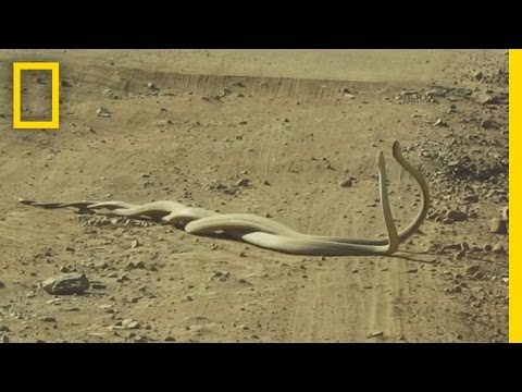 Thumbnail: Watch World's Deadliest Snakes Battle Over a Female | National Geographic