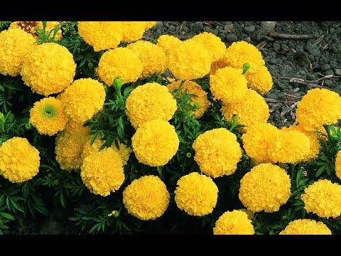 Drumstick Cultivation || Marigold Cultivation - Eruvaka - 25-10-2014 - 99tv