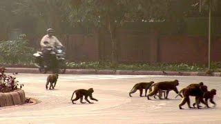 Mit Affengebrüll: Menschen gegen Makaken in Neu Delhi