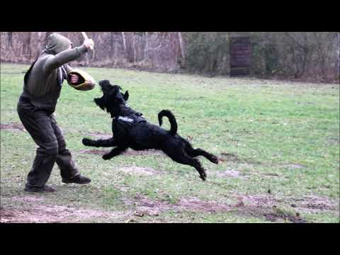 giant schnauzer blackmoore wolverine training januar2018