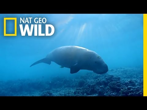The Dugong: the Ocean's Vacuum Cleaner | Wild Egypt