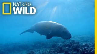 The Dugong: the Ocean s Vacuum Cleaner | Wild Egypt