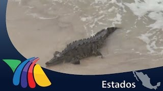 Cocodrilo llega a playa de Mazatlán | Noticias de Mazatlán