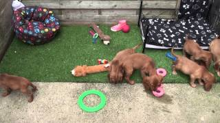 Little Rascals Uk Breeders New Litter Of Golden Cocker Spaniel Babies - Puppies For Sale 2015