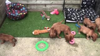 Little Rascals Uk Breeders New Litter Of Golden Cocker Spaniel Babies - Puppies For Sale 2015