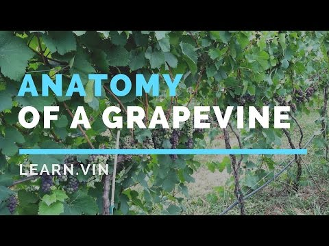 Making Wine: In the Vineyard | Anatomy of a Grapevine