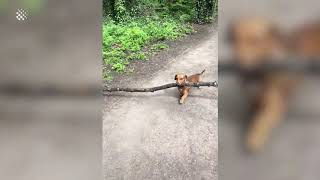 Tiny dachshund manages to navigate around parks carrying large stick in mouth