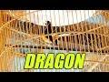 Dunia Hobi Aksi Murai Batu Dragon Di Latber Ngabuburit Semparuk  Mp3 - Mp4 Download