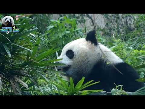 20171214 圓仔與蟲蟲的對決 The Giant Panda Yuan Zai