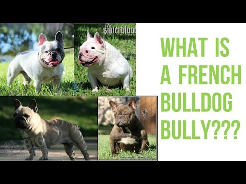 Presenting The French Bulldog Bully!!!