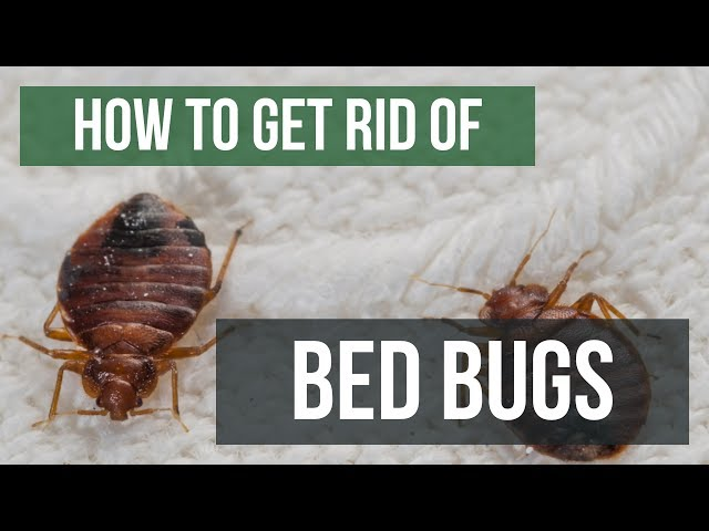 How To Get Rid Of Bed Bugs Guaranteed 4 Easy Steps Youtube
