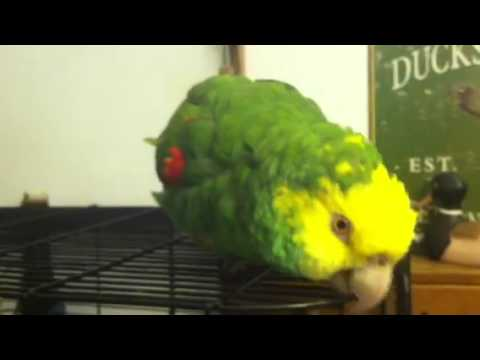 Yellow Headed Amazon Parrot talking and laughing