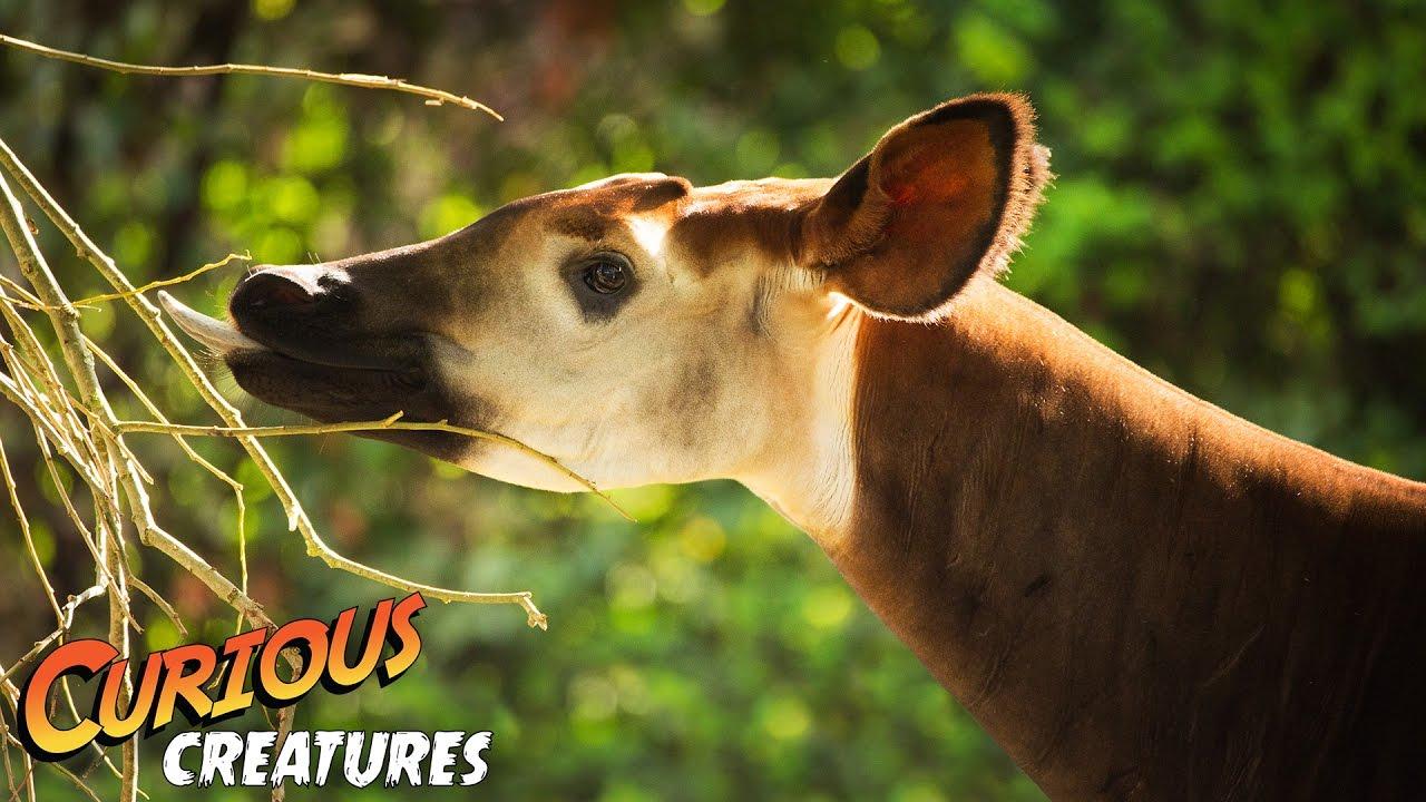Download Okapi | Curious Creatures