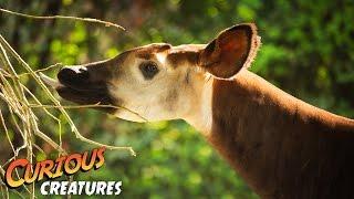 Okapi Curious Creatures