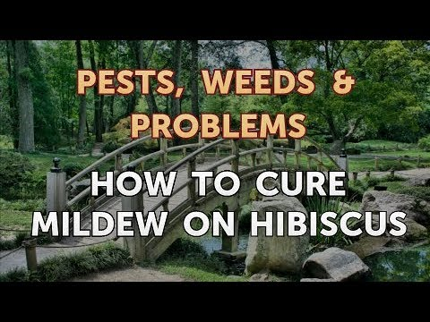 How To Cure Mildew On Hibiscus Youtube