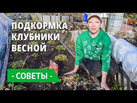 Удобрения для клубники весной. Чем и когда подкормить землянику? Уход: рыхление и обрезка