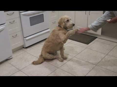 Goldendoodle knows tricks