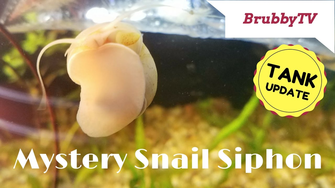Mystery Snail Siphoning Air Youtube