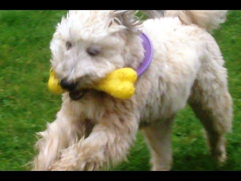 Wheaten Terrier Alfie.