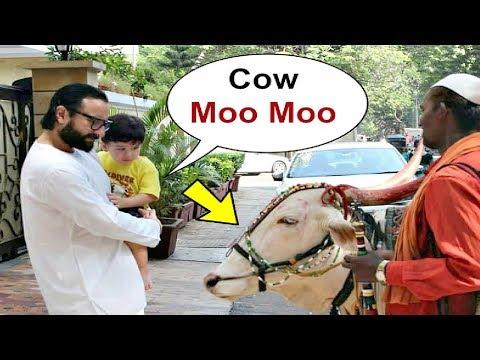 Taimur Ali Khan Cute Reaction On Seeing COW With Saif Ali Khan