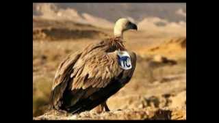النسر الاسرائيلي Eagle Israeli
