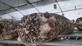 표고버섯 국산배지 발생