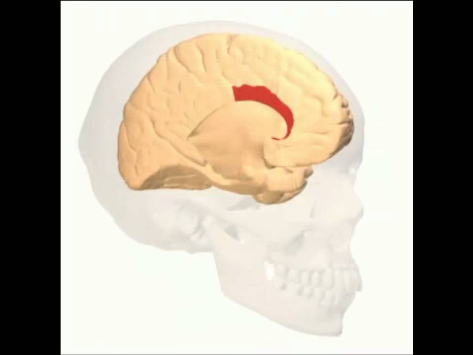 Anterior Cingulate Gyrus - YouTube