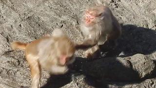 井の頭自然文化園のアカゲザルが食事をしています。みんな懸命に食べて...