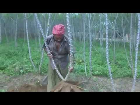 Organic tapioca cultivation how to plant  tapioca