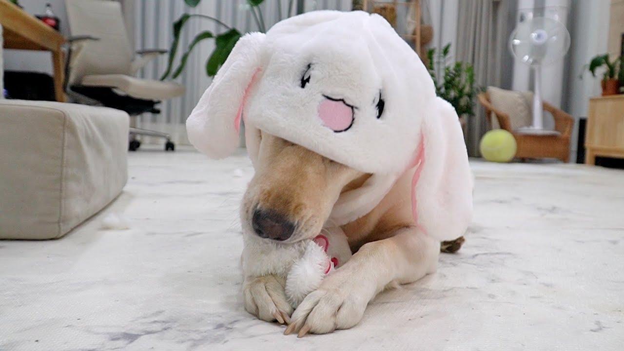 스스로 토끼귀 움직이는 강아지ㅋㅋㅋ | A puppy that moves her rabbit ears on her own lol