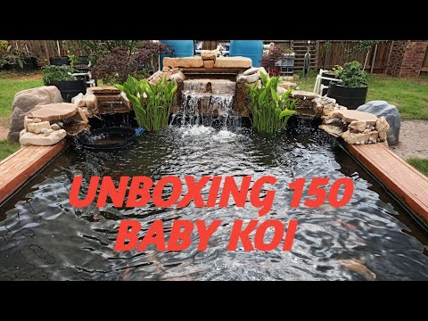 UNBOXING 150 BABY KOI FISH