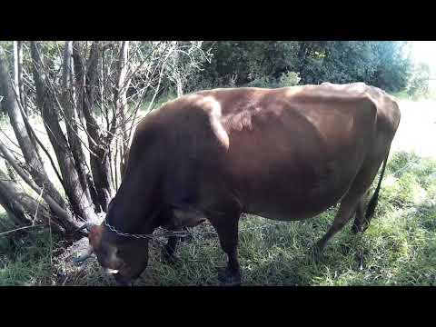 Вопрос: Чем улучшить удой у коровы зимой?