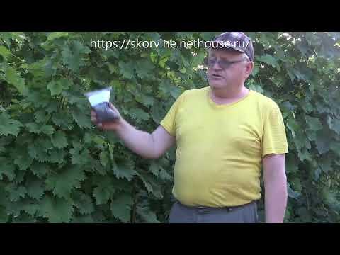 Вспышка болезней винограда в июле - как ее предотвратить!