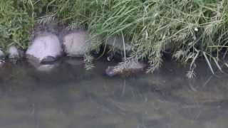 恩智川で暮らすヌートリアの姿を撮影出来ました!