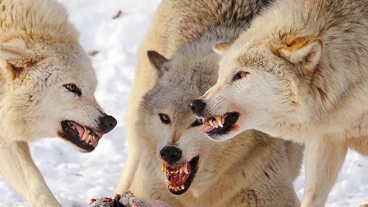 фото волк картинки
