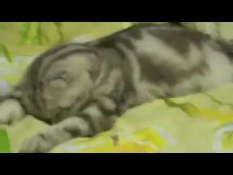 Кот смешно уснул и упал. Cat fell asleep funny