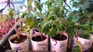 ПЕРЕВАЛКА  ранних томатов- кукла,покоритель севера,Алексеевна,Катя,дынюшка.
