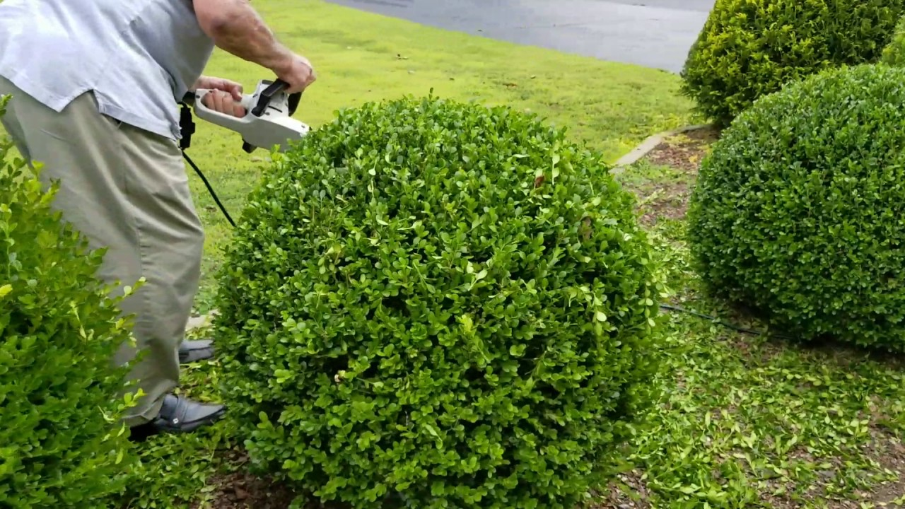 how to trim a perfectly round shrub youtube. Black Bedroom Furniture Sets. Home Design Ideas