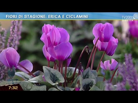 Fiori di stagione erica e ciclamini youtube for Ciclamini cura