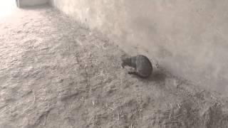 (12+) Кошка ест мышь. Cat eating mouse. GoPro.